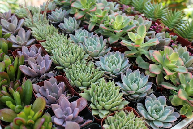 Take the Green Thumb out of Gardening with Succulents!